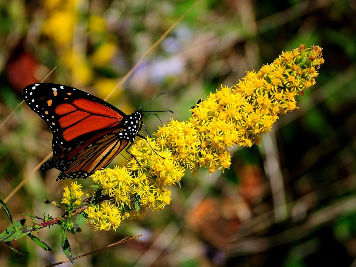 Monarch butterfly on Goldenrod at the National Butterfly Center in Mission, Texas. Photo copyright National Butterfly Center