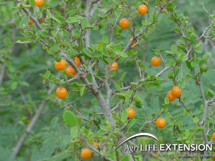Hackberry, often considered a trash tree, provides food for snout caterpillars and other wildlife. Courtest photo via Texas Agrilife