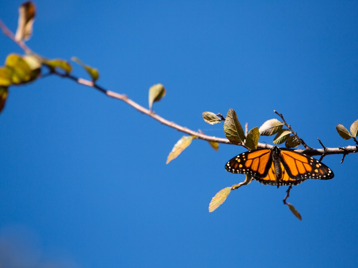 A Monarch finds a nearby tree to perch itself on after being released.