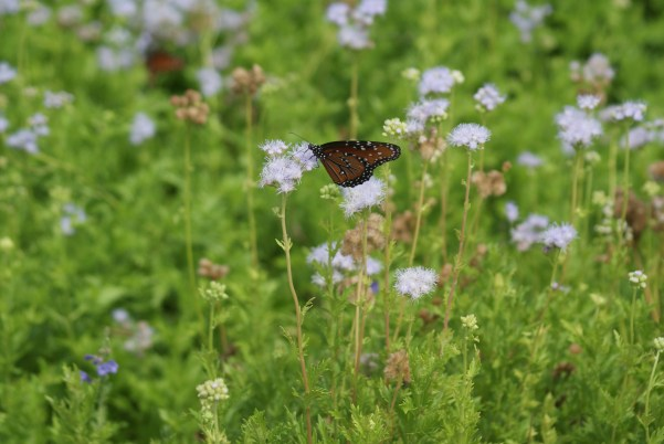 Queen butterfly on Purple mistflower at SARA's Euclid office. Photo by SARA
