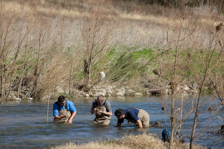 San Antonio River Authority Aquatic Biologists (left to right) Shaun Donovan, Chris Vaughn, and Larry Larralde use their hands to feel rocks that could be housing Golden Orb mussels.