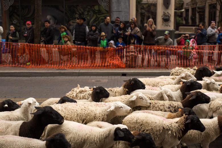 A flock of sheep passes through downtown San Antonio on Houston Street.