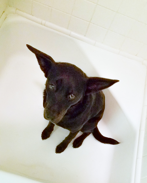 Rocky The Wonder Dog taking shelter from the tornado. In the bathtub. Like you're supposed to. Rocky is now represented by the William Morris Agency.