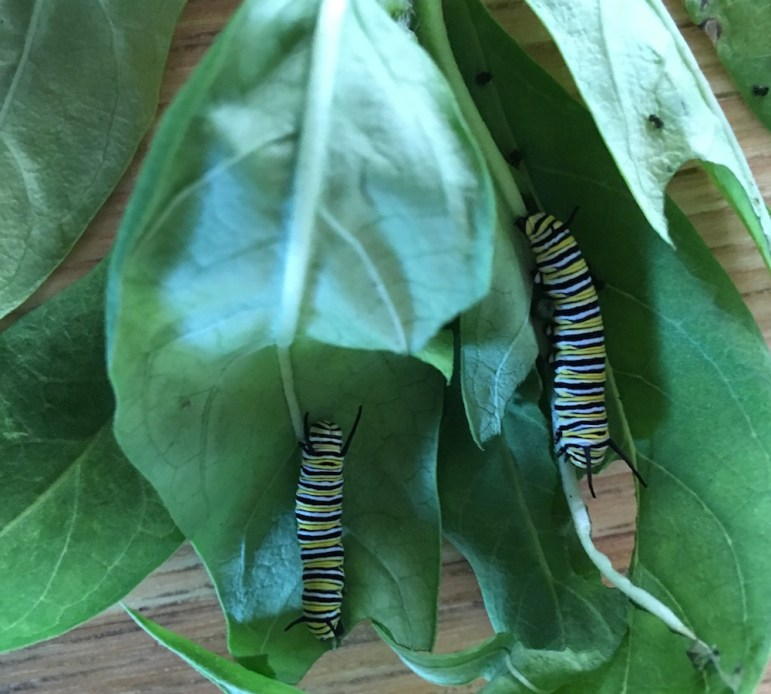 These two Monarch larva, caterpillars, would be deported if President Trump's executive order is successful.