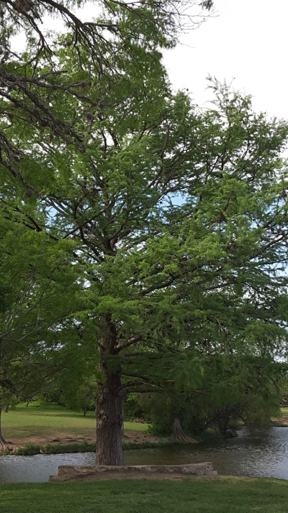 Allowing trees to grow with as few pruning wounds as possible allows them to keep their natural beauty and live longer, as with these Taxodium distichum.