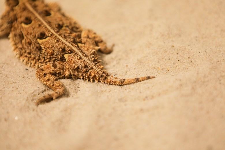 A horned lizard tail.