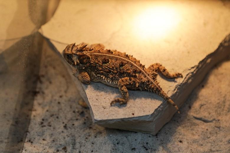A horned lizard rests under a light.