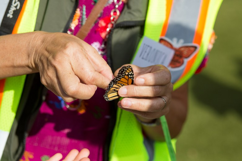 Veronica Prida tags a monarch butterfly during a demonstration.
