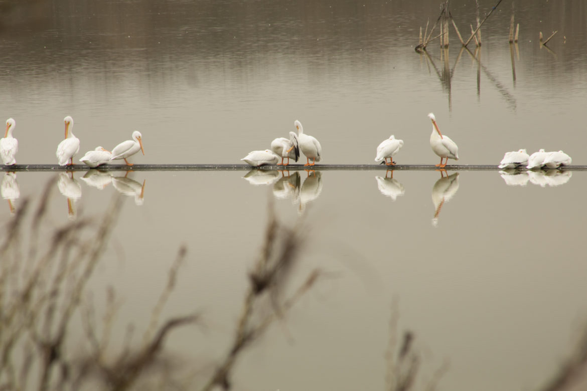 White pelicans sit above water level at Mitchell Lake.