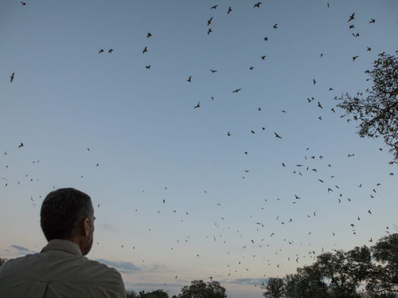 Fran Hutchins, Bracken Cave Preserve Director, watches the bats fly away from Bracken Cave for the evening to feed.