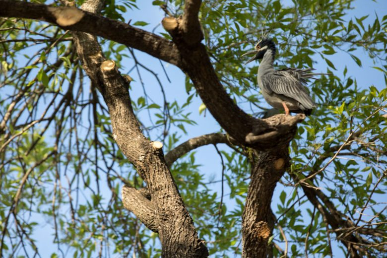 Yellow-crowned night herons nest in a tree that has recently been trimmed, along with the removal of their nests as long as they were empty upon sight.