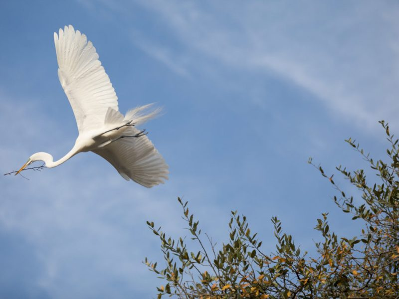A great egret flies to it's nest at Brackenridge Park along the San Antonio River.