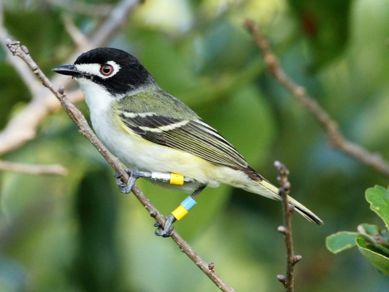 The black-capped vireo will be taken off the endangered species list.