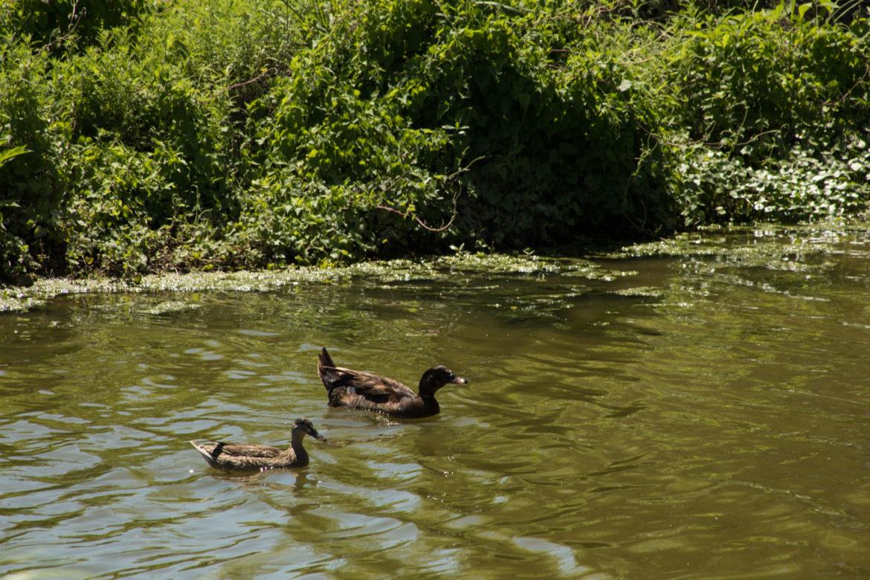 Ducks swim in the San Antonio River upstream of Acequia Park.