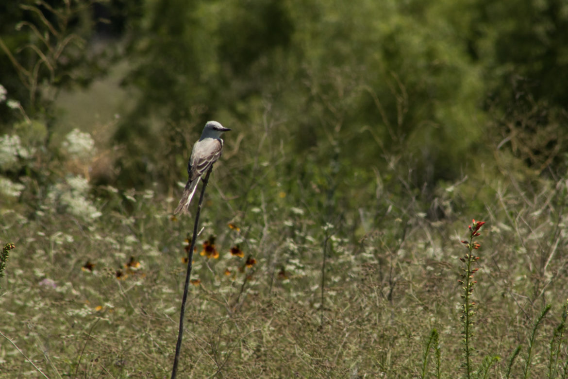 A scissor-tailed flycatcher perches on a stick on a piece of restored prairie along the Mission Reach.