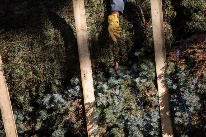 Workers cut the large tree free from the twine that bound it while it was traveling to San Antonio.