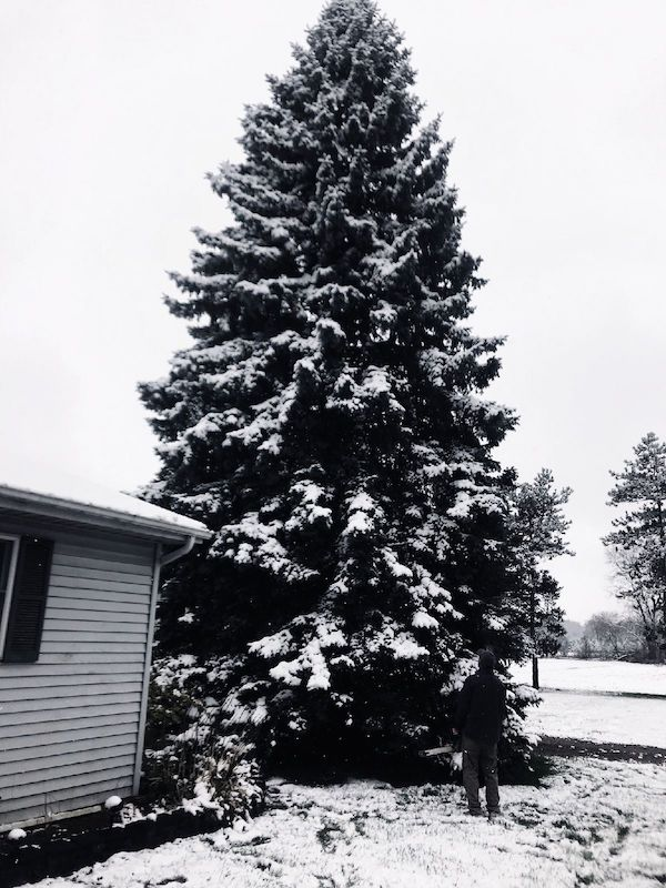 This 50-foot Blue Spruce tree, seen here at a home in Michigan, traveled more than 1,500 miles to downtown San Antonio to become H-E-B's official Christmas tree in Travis Park.