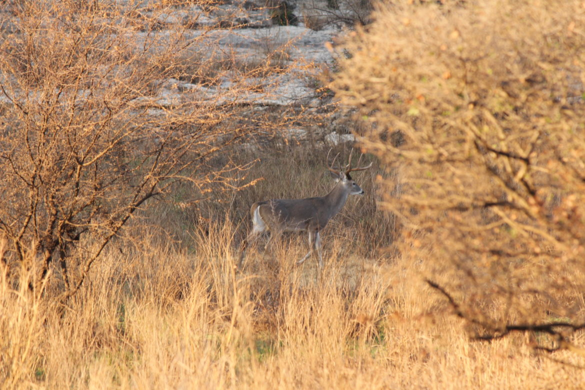 A male white-tailed deer passed through brush at Stone Oak Park.