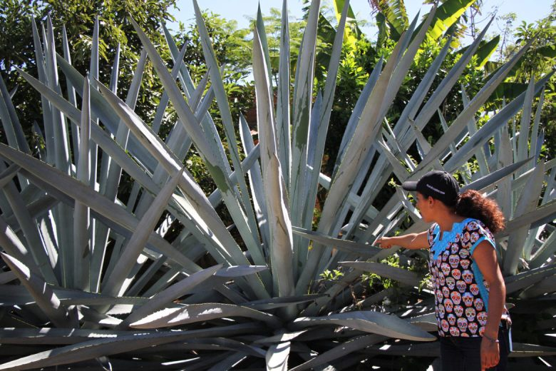 Graciela talks about an agave variety.