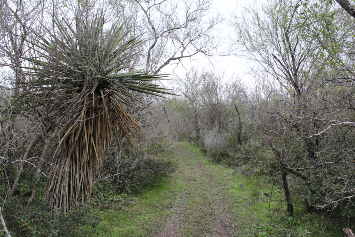 A double-track trail on the Cox Tract south of Pearsall Park passes near a Spanish dagger plant and other South Texas brush.