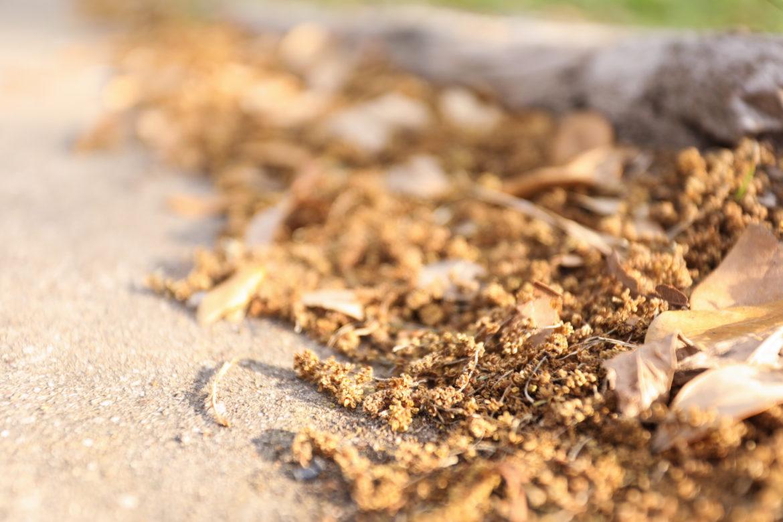 Pollen lines the sidewalks near Hemisfair Park.