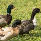 Ducks wander around the vicinity of the Eden Duck Pond.