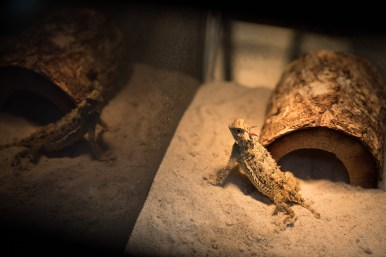 A Texas horned lizard in captivity at the San Antonio Zoo.