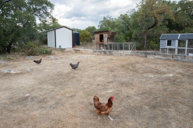 Four of the eight chickens that roam free throughout the five acres of the property.