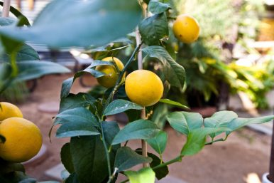 A lemon tree grows on the back patio of the Sweet Yams restaurant.