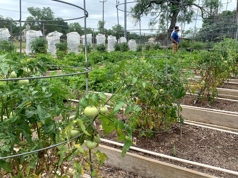 Tomatoes grow at the San Antonio Botanical Garden. Nearly all the crop rows are full and the vegetables will be donated to local hunger relief efforts.