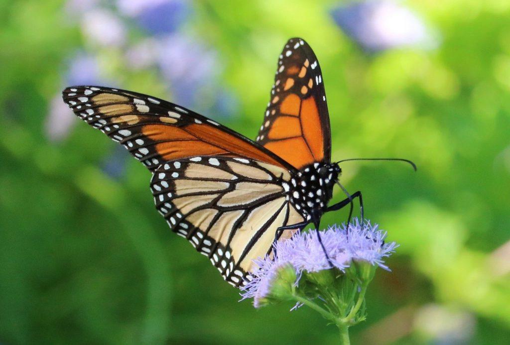 monarch butterfly on purple mistflower