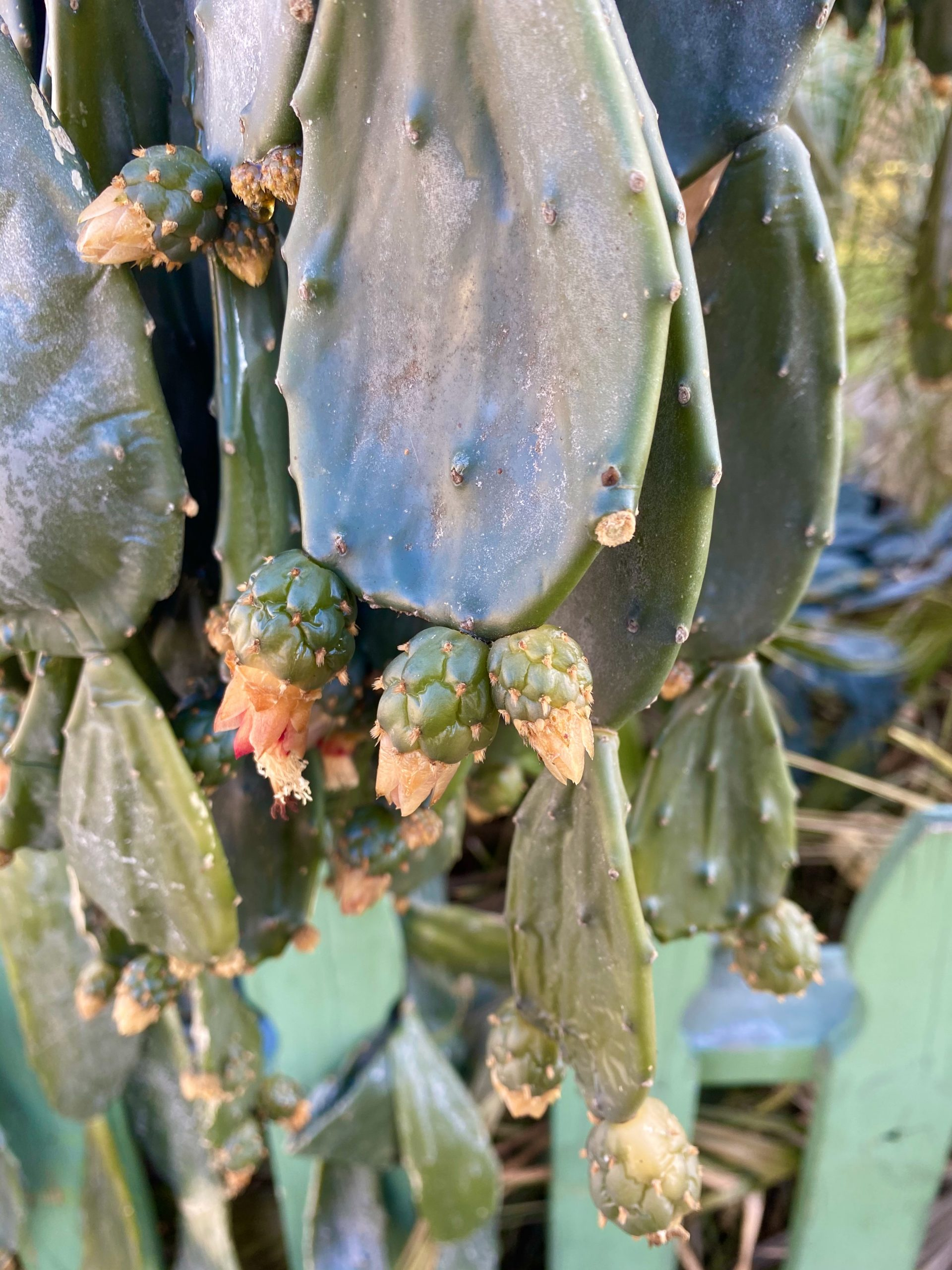 Frozen prickly pear