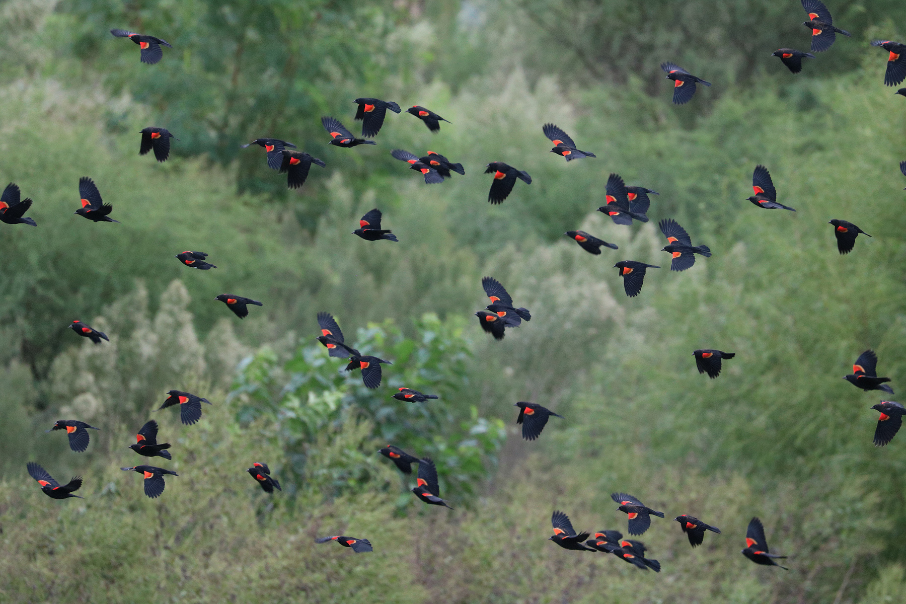 Red-winged blackbirds.