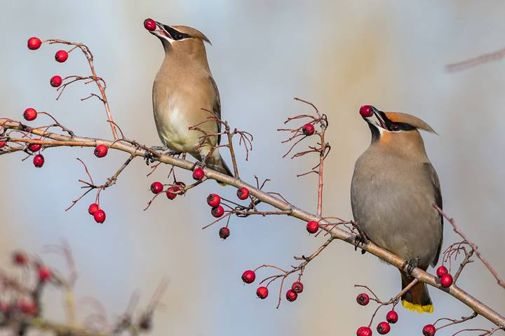 Cedar waxwings are in San Antonio for the winter season.