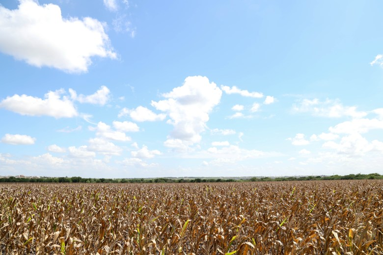 A large grain crop grows opposite the Ball's subdivision in Converse Thursday.