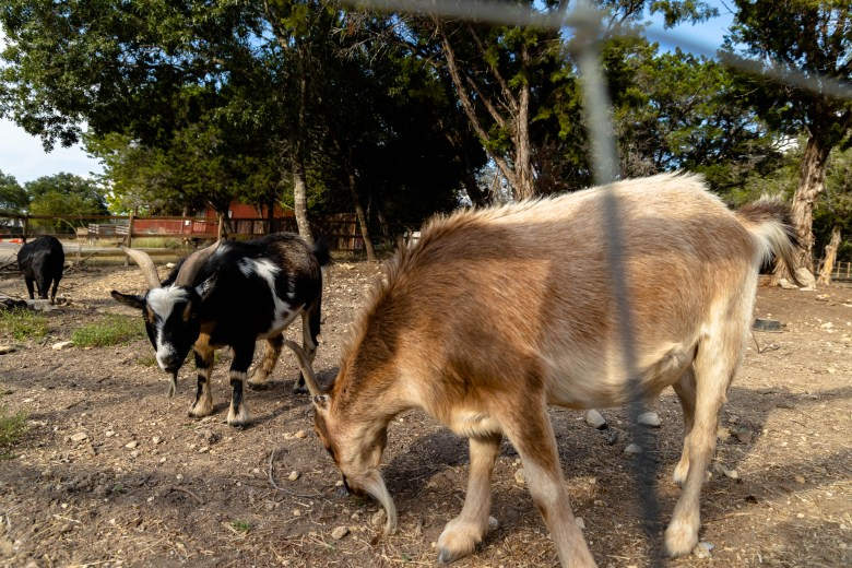 Camp CAMP is also home to a few farm animals including these three goats. Pictured from left: Rocket, Vincent Van Goat, and Leonardo  DiCaprigoat.