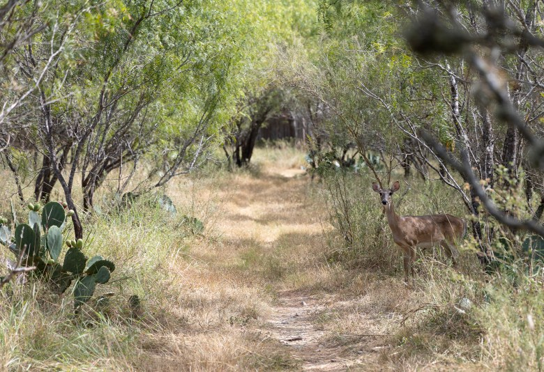 A white-tailed doe peers out from the dense landscape of Huebner-Onion Natural Area.