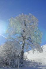 L'Albero ghiacciato