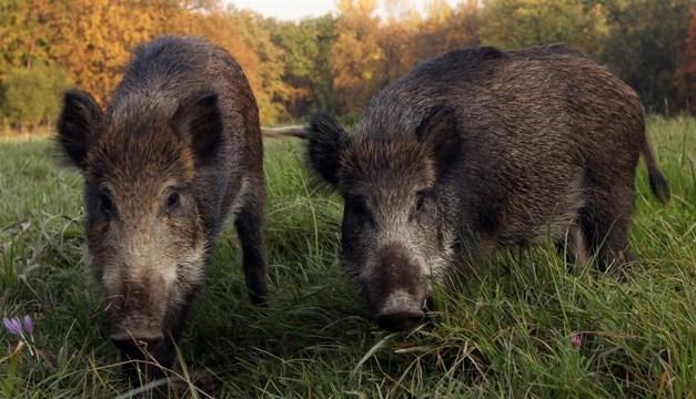 Coldiretti, accertati danni da cinghiali e lupi in molti comuni campani: c'è anche il Sannio