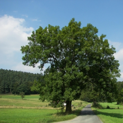 Mollica (M5S): tutelare gli alberi monumentali. Richiedere la tutela UNESCO per il Fraxinus Excelsior di San Bartolomeo in Galdo
