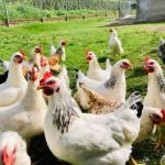 Azienda agricola Pacifico: Agricoltura ed allevamenti sostenibili