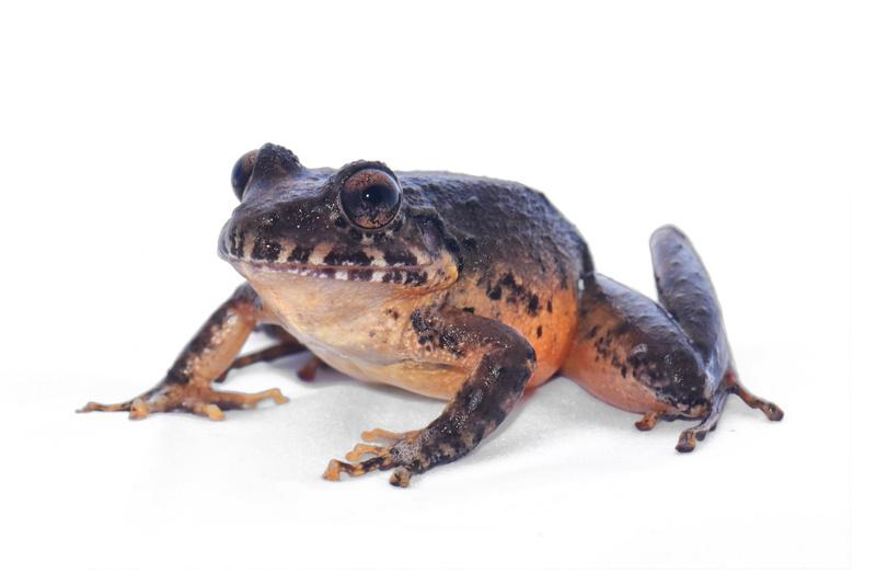 Científicos costarricenses encuentran rana que se creía extinta
