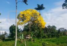 Árbol de Corteza Amarilla