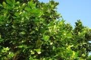 పొన్న చెట్టు కొమ్మమీద