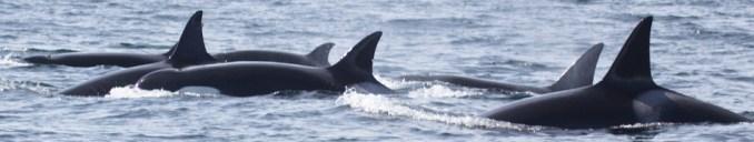 Orcas off of Moss Landing