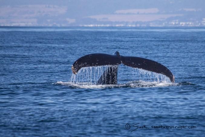 Monterey Bay Humpack Whale
