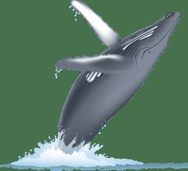 whale transparent humpback breach fish backgrounds whales watching pngriver bay vallarta puerto clip monterey lots sanctuarycruises schedule ia