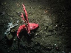 Sebastes melanostomus (blackgill rockfish) resting on Paragoria arborea (bubblegum coral)