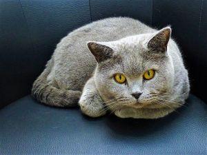 Beautiful British Short Hair Cat