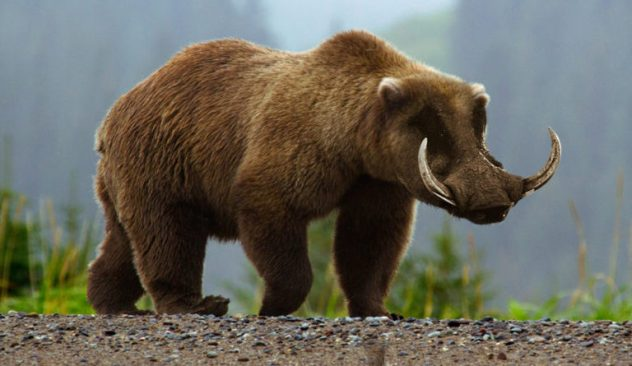 grizzley-boar